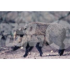 Diana Jabalí Wild Boar